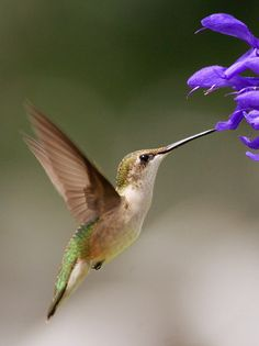 Female Hummingbird, ɭ0ƲᏋ these Sweet Birds! I could sit and watch them for hours~Photo by Valerie, via Flickr~❥