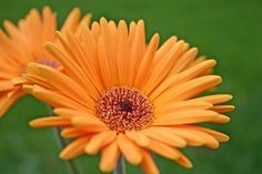 How to Prune Gerber Daisies