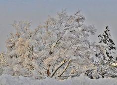 Luminen puu... | Kuvakuja.fi
