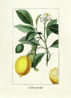 Antique Illustration, Botanical Illustration, Illustration Art, Lemon Watercolor, Vintage Botanical Prints, Vintage Prints, Acrylic Wall Art, Clear Acrylic, Thing 1