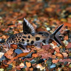 Tropical Fish for Freshwater Aquariums: Synodontis Multipunctatus ...
