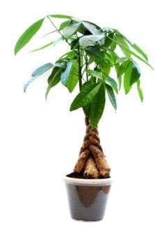 Money tree pachira plants non toxic to cats - Money tree feng shui placement ...