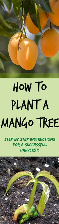 how to plant a mango seed
