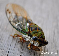 Texas Cicada. We always called them Chicharras-They are the sound track to Summer in Texas.