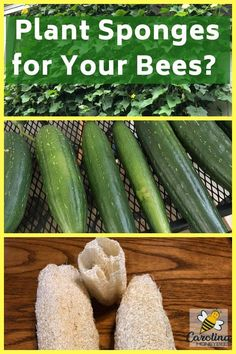 Growing sponges for bees. Luffa is a great addition to your bee garden. Beekeeping For Beginners, Gardening For Beginners, Gardening Tips, Balcony Gardening, Kitchen Gardening, Gardening Books, Gardening Supplies, Indoor Gardening, Bee Hive Plans