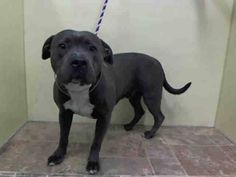 TO BE DESTROYED 02/25/15 Manhattan Center  My name is SHADOW. My Animal ID # is A1028138. I am a male gray and white staffordshire mix. The shelter thinks I am about 2 YEARS   I came in the shelter as a OWNER SUR on 02/17/2015 from NY 10473, owner surrender reason stated was NEW BABY.