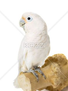 young parrot sitting on wooden log. - Close-up shot of a young white parrot sitting on wooden log.