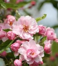 Crabapple/ Praire Rose tree Large and fragrant double pink flowers that look like miniature roses. Similar to the Spring Snow Crabapple that it ...