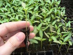 Tehnologie de cultura a tomatelor sau cultivarea rosiilor Herbs, Culture, Plant, Herb, Medicinal Plants