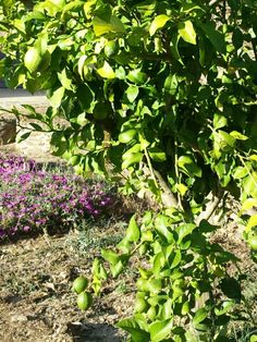 July 20, 2014. Extremadura. Spain.  Lemon tree. El limonero