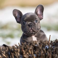Blue french bulldog pups for sale. Available to the very selected homes. website:http://www.frenchbulldogbreed.net/puppy-for-sale.html