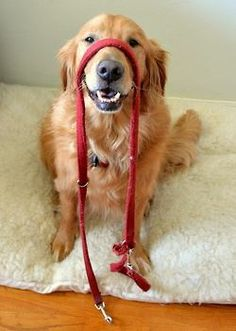 I'm going to take a wild guess here and say...  he's ready for a walk!