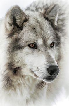 Wolf Dog by Athena Mckinzie - Wolves - Art - Hunde Wolf Photos, Wolf Pictures, Wolf Photography, Wildlife Photography, Beautiful Wolves, Animals Beautiful, Tier Wolf, Wolf Artwork, Wolf Spirit Animal