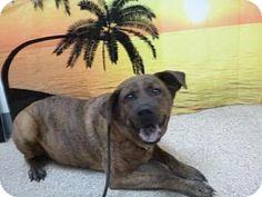 Henderson, NV - German Shepherd Dog/Rottweiler Mix. Meet BUBBA, a dog for adoption. http://www.adoptapet.com/pet/12654713-henderson-nevada-german-shepherd-dog-mix