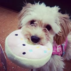 Dolly doughnut #dolly #doughnut #maltipoo #puppy