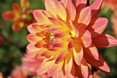 this is a beautiful flower...and there is a dahlia farm the end of Mt Si Road.  I think they are 5 for $1