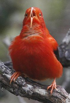 Cool image of an ʻiʻiwi (Vestiaria coccinea) singing in the canopy of native forest, Mauna Kea, Hawaiʻi