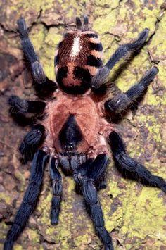 Cyriocosmus nogueiranetoi - A 'Tiger-Striped' Tarantula