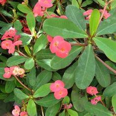 Fotos de flores Colchões-de-noiva
