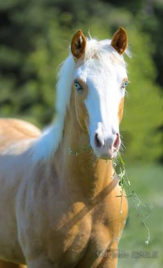 Palomino colored foal with beautiful blue eyes. Stunning horse photography. Please also visit www.JustForYouPropheticArt.com for colorful, inspirational art and stories and like my  Facebook Art Page  at www.facebook.com/Propheticartjustforyou Thank you so much! Blessings!