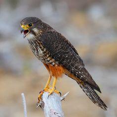 New Zealand Falcon. - Iolanthe - - New Zealand Falcon. Pigeon, World Birds, Flightless Bird, Animal Sketches, Reptiles And Amphibians, Bird Pictures, Birds Of Prey, Colorful Birds, Bird Watching
