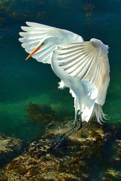 """Lit Up"" - Great Egret landing - photo by Greg Magee"