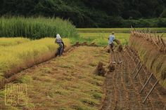 Taking Turns | Harvesting Rice the tradational way. Chiba Ja… | Flickr