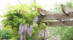 Provide support for a Wisteria vine with a barnwood pergola