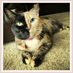 You've probably seen photos of Venus the two-faced cat, but you probably haven't seen these dogs and cats who also have the most amazing split faces Cute Kittens, Cats And Kittens, Beautiful Cats, Animals Beautiful, Two Faced Cat, Animals And Pets, Cute Animals, Sweet Cat, Different Colored Eyes