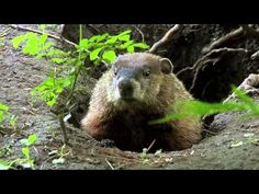 Hasemeier Early Learning Resources - What Do Groundhogs Eat? - YouTube