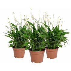 Slechte nachtrust? Deze 5 planten zorgen ervoor dat je beter slaapt - Alles om van je huis je Thuis te maken | HomeDeco.nl Om, Pearls, Everything, Money, Beads, Gemstones, Pearl