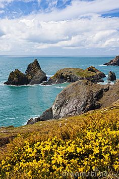 Flowering gorse on the cliffs with Kynance Cove in the Background, Cornwall England UK