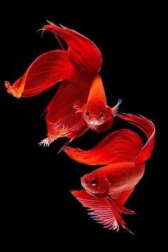 Siamese fish