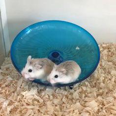Hamsters Video, Funny Hamsters, Cute Animal Videos, Cute Animal Pictures, Cute Little Animals, Cute Funny Animals, Funny Animal Memes, Cute Creatures, Animals Beautiful