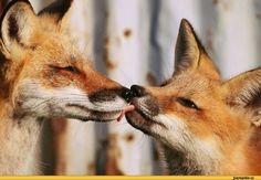 живность,лисы