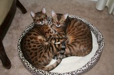 Our family has 2 Bengal cats that are litter mates, a brother and sister. We also have a Savannah cat. We have had many cats over the years. Puppies And Kitties, Cute Cats And Kittens, Cool Cats, Serval Cats, Mean Cat, Pusheen Cat, Unique Cats, Silly Cats, Pretty Cats