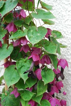 Rhodochiton Bell Vine Seeds Purple Bell Vine 25 thru 200 Seeds Diy Pergola, Pergola Plans, May Garden, Seeds For Sale, Flowering Vines, Pergola Designs, Garden Seeds, Flower Seeds, Clematis