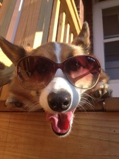 ... Funny Corgi Pictures, Corgi Funny, Corgi Dog, Adorable Dogs, Cute Puppies, Corgi Names, Fluffy Corgi, Funny Animals, Cute Animals