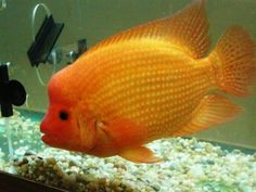 Red Devil   South American Cichlid.  *Very very aggressive and not to be mixed with African Cichlids*