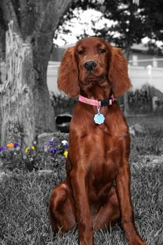 This is Gemma, the family's Irish Setter. I swear she can talk. She gets really mouthy when she doesn't get her way! A funny, talking dog.