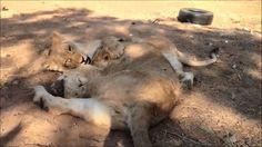 Emoya Big Cat Sanctuary - The lions