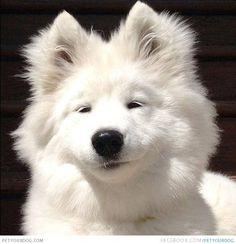 Sleepy Face Samoyed A pure white sleepy face Samoyed Dog.