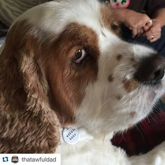 See! All the cool kids are sporting their RUDEdog dog tags today! To be cool like Sparkey, shop link in bio! 50 (and counting!) different sayings to choose from! #Repost @thatawfuldad with @repostapp. ・・・ The tag doesn't lie. @thruffty_pup #wigglebutt #sparkey #cockalier #cockaliersofinstagram #dogsofillinois #dogsofinstagram