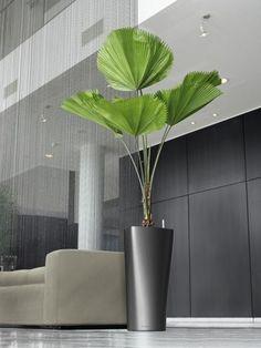 Majestosa, elegante, graciosa e delicada palmeira de folhas em leque corrugadas. De crescimento lento e com pequeno porte (3 a 4 Mts.),...