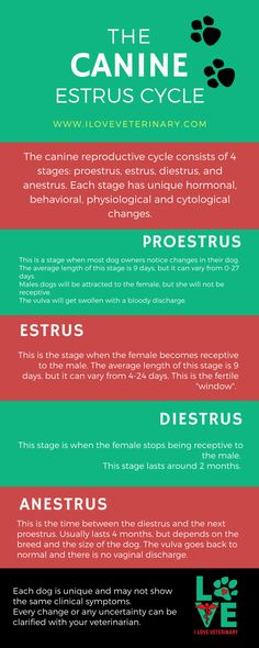 The canine estrus cycle a veterinary infographic gynecology funny the canine estrus cycle i love veterinary pregnancy photos funny maternity diy memories diybazaar gynecology pictures Veterinarian School, Veterinarian Technician, Vet Tech Student, Vet Assistant, Vet Med, Vet Clinics, Veterinary Medicine, Veterinary Studies, Tech N9ne