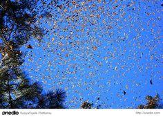 Kral kelebeği göçü: Yıl boyunca Kuzey Amerika, Meksika ve Kanada arasında sürekli göç halindelerdir.