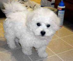 Bichon Frise for Free Adoption | Bichon Frise puppies for free adoption