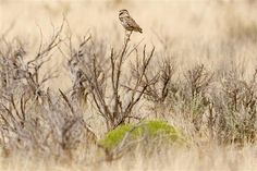 SANTA FE, N. (AP) — More officers have been put on patrol in the Caja del Rio area near Santa Fe after the reported killing of a burrowing owl, a federal land management official said. Burrowing Owl, Migratory Birds, Rare Species, New Mexican, Santa Fe, Mexico, Management, Left Wing, Mushrooms