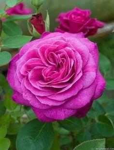 Old Port ~ Hybrid Tea Rose