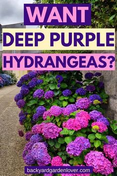 Do you wish for deep purple hydrangeas? Learn how easy it is to tweak the color of your hydrangea flowers with one simple change in the soil. flowers landscape How To Change Hydrangea Colors - Pink, Blue & Purple Hydrangea Colors, Hydrangea Care, Hydrangea Flower, Purple Flowers, Purple Hydrangeas, Colorful Flowers, Hydrangea Color Change, Flower Tree, Colorful Garden